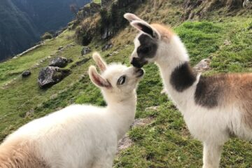 Interesting Facts About Llamas