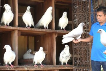Pigeon Keeping For Beginners
