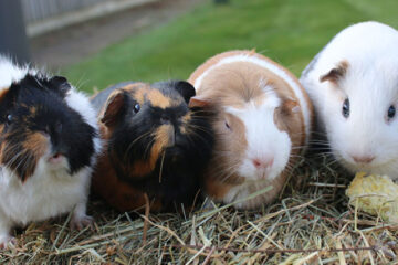 Are Guinea Pigs The Right Pet For Me?