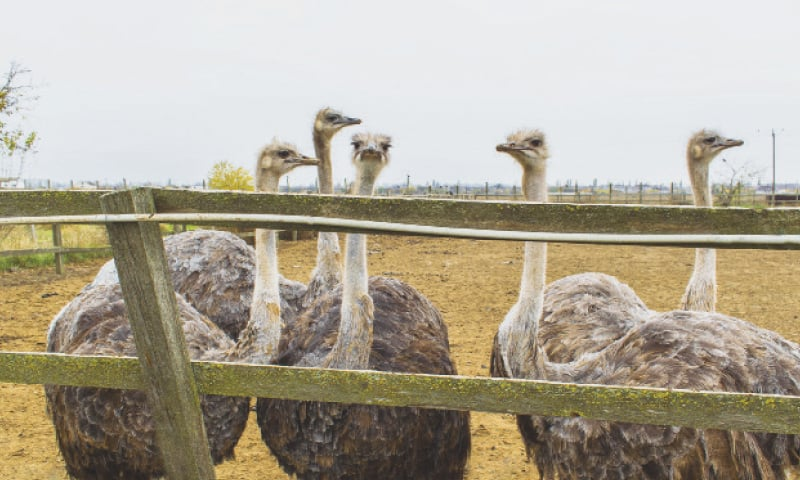 The Benefits Of Raising Ostrich