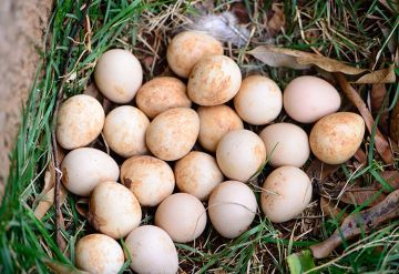Hatching Guinea Fowl Eggs Without An Incubator