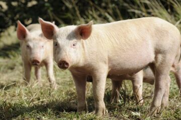 How Can I Make My Pig Gain Weight Fast?
