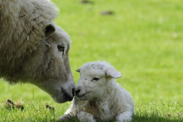 How Many Times A Year Does A Sheep Give Birth?