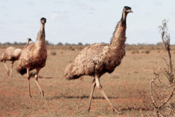 How To Care For Emus