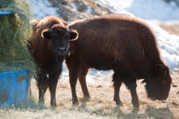 How To Feed Bison