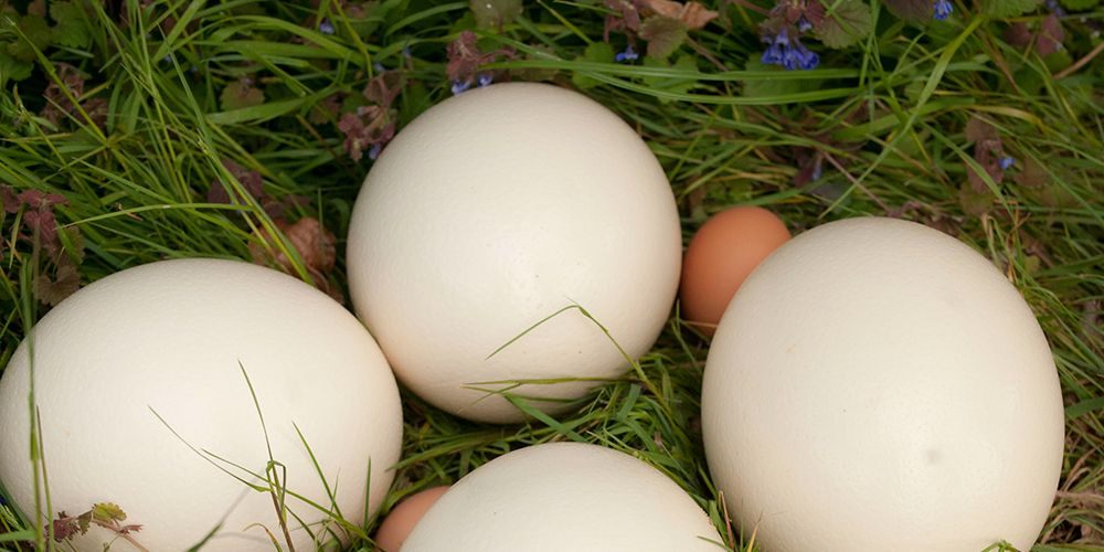 How to Incubate Ostrich Eggs