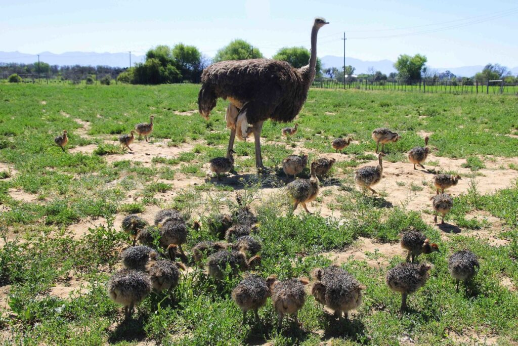 How To Raise Ostrich Chicks