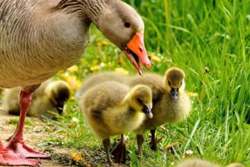How To Raise Your Own Goslings