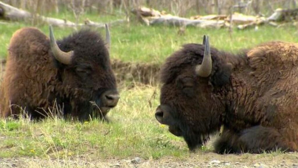 How To Slaughter A Bison