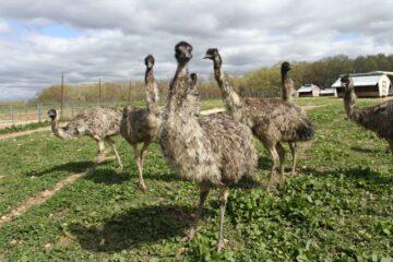 How To Start An Emu Farming Business