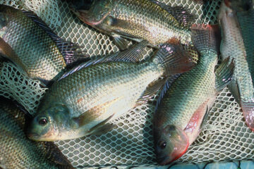 Methods For Controlling Tilapia Reproduction