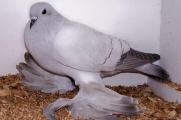 Parasitc Diseases That Infect Pigeons
