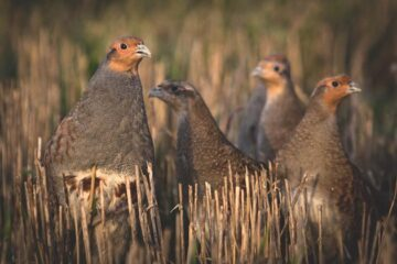 Partridge Reproduction and Mortality Rate