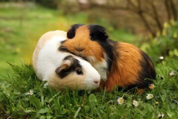Pets At Home Guinea Pig Care Guide