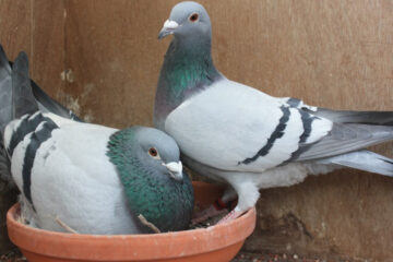 Pigeon Breeding Tips For Beginners