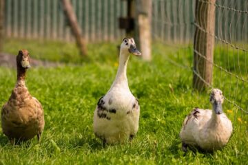 Why You Should Raise Ducks As A Side Business