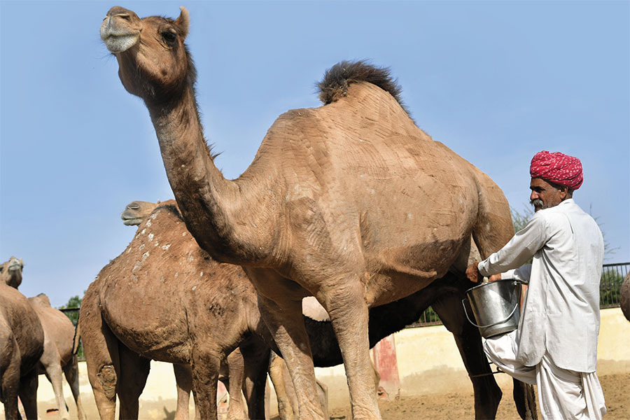 Raising Camels For Milk Production