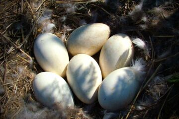 Raising Geese For Egg Production