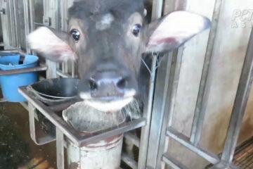 Raising Water Buffalo For Milk Production