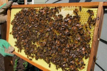 Starting A Bee Colony For Honey