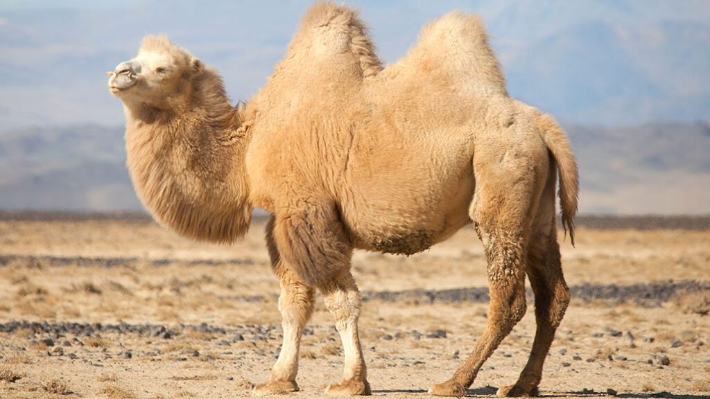 The Advantages Of Camels Over Other Livestock