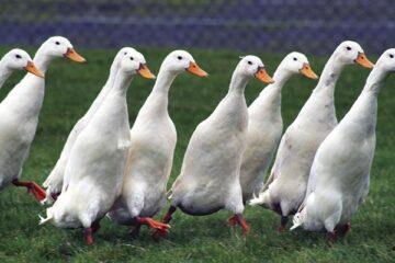 The Disadvantages Of Raising Ducks
