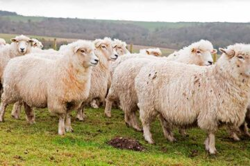 The Types of Sheep Breeds For Beginners