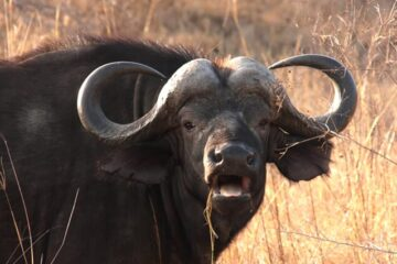 The Various Types Of Water Buffalo