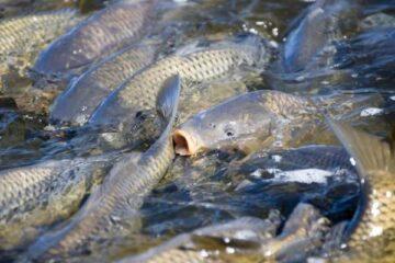 Tilapia Fish Handling And Marketing