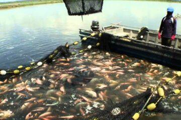 Tilapia Fish Farming Harvesting