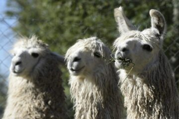 What Are Llamas Good For On A Farm