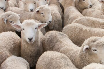 what are the advantages and disadvantages of sheep production
