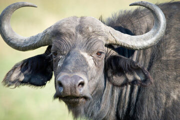 What Are The Characteristics Of A Water Buffalo?