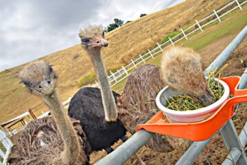 What Do Ostriches Eat In Captivity?