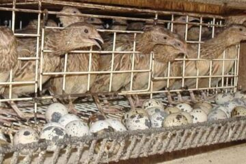 What Does A Quail Coop Need?