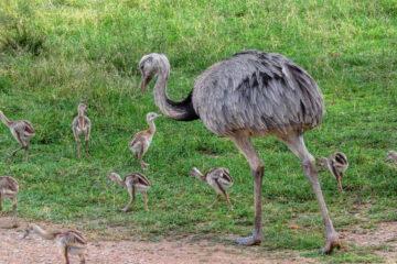 When Do Rheas Begin To Reproduce?